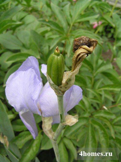 Ирисы выращивание семена 27
