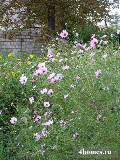 Космея 8722; скромное обаяние осеннего сада