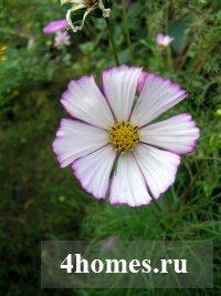 Космея − скромное обаяние осеннего сада