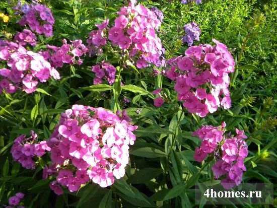 Флоксы – нежное очарование сада