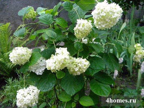 Гортензия садовая – кустарник для души