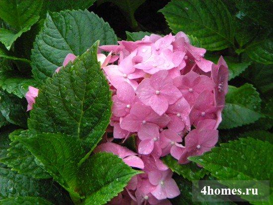 Почему у гортензии зеленеют цветы