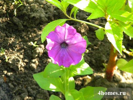 Выращивание петунии на даче