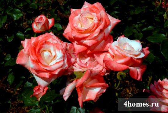 Как обрезать розы на зиму?