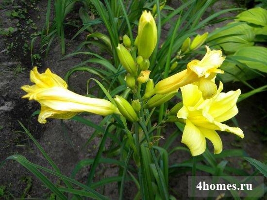 садовые лилии посадка