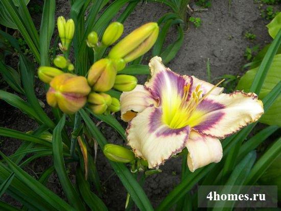 лилии садовые фото