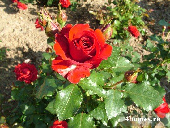 как посадить розу из букета