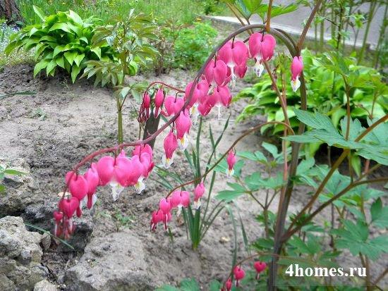 Садовая дицентра: посадка и уход