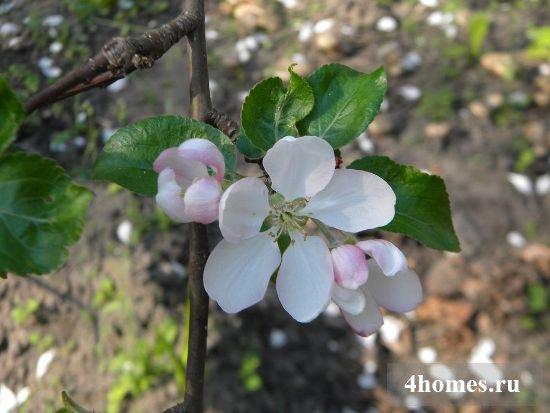 Чем опрыскивать яблони весной от вредителей?
