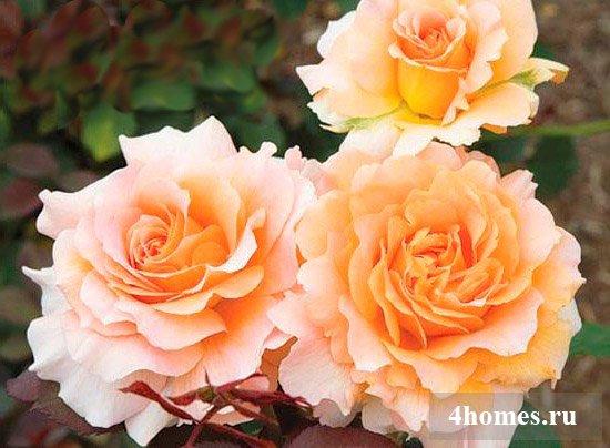 Ароматные сорта роз для красивого благоухающего сада