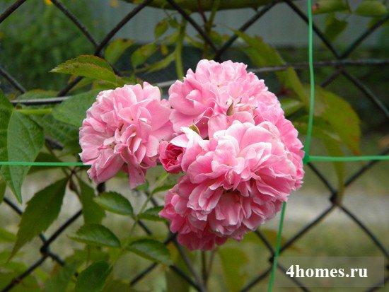 Декоративная роза для изгороди