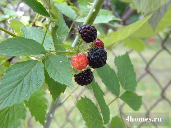 сорта черной малины