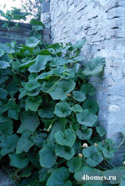 Выращивание тыквы для декорирования участка