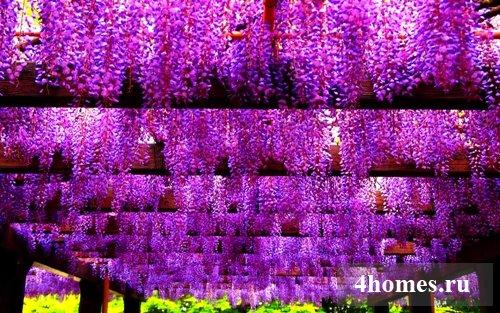 Вистерия: фото и описание растения