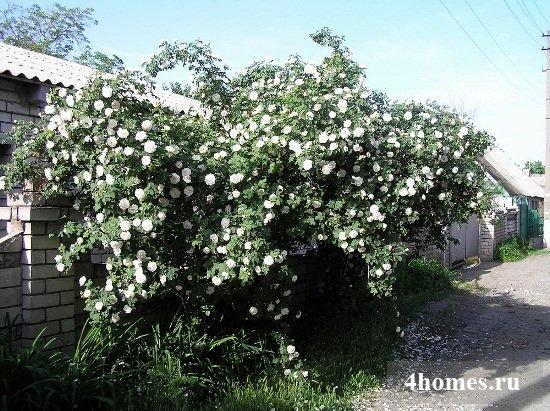 Плетистые розы: выращивание и уход