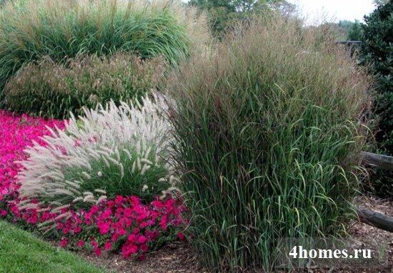 декоративные травы фото и названия