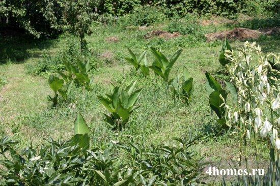 Канны: выращивание, уход и фото цветов