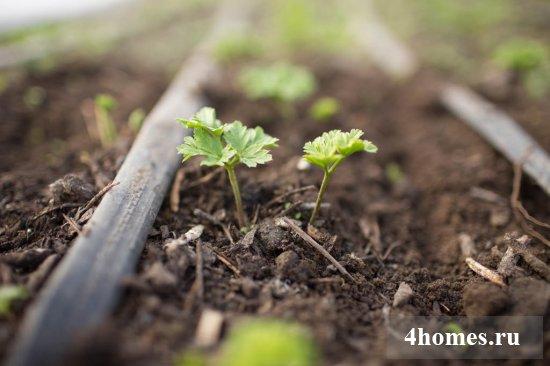 Выращивание анемон