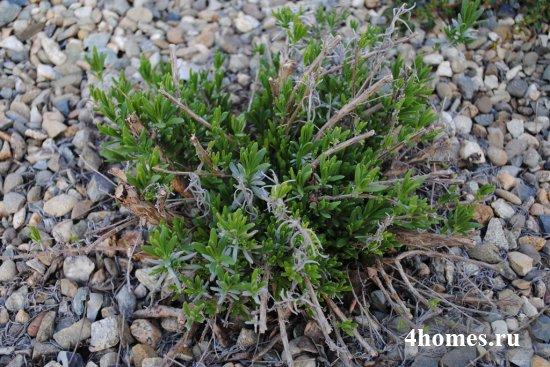 Сиреневое облако: выращивание лаванды из семян