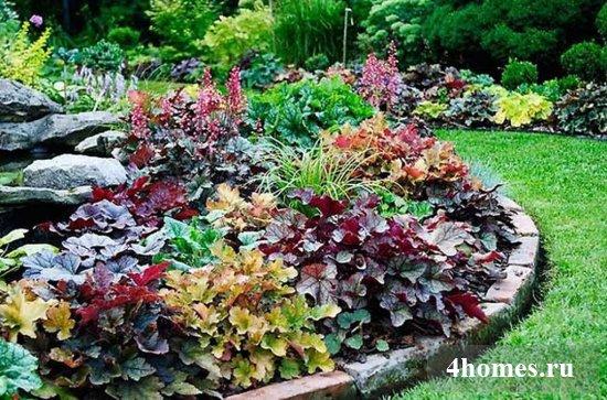 Как выращивать гейхеру в открытом грунте