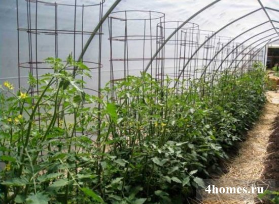 Подвязываем помидоры в теплице эффективно и правильно