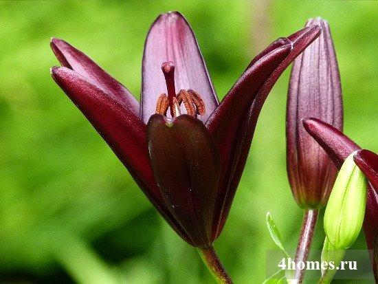 Посадка лилий в открытый грунт и уход за ними