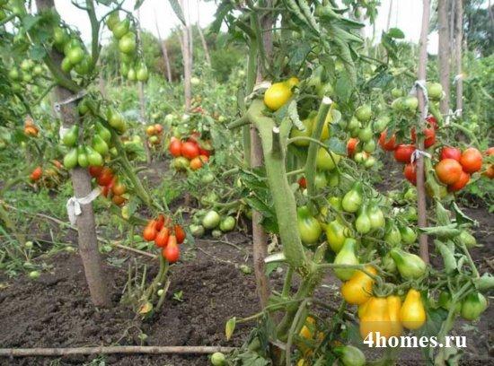 Подвязка помидоров в открытом грунте
