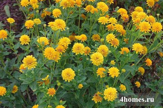 Гелиопсис: посадка и уход, фото в цветнике