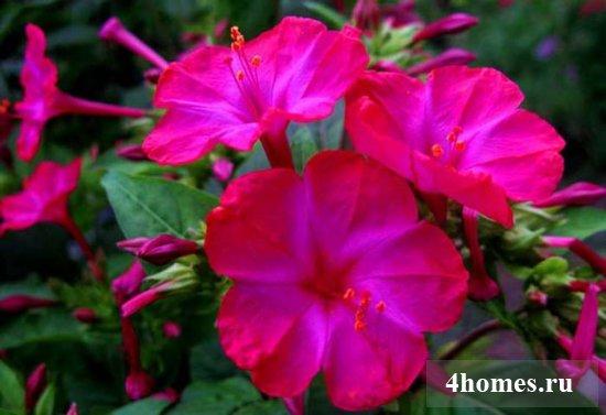 Король ночного сада – мирабилис, посадка и уход в открытом грунте