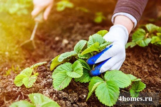 Как правильно посадить клубнику осенью?