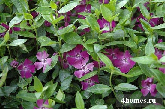 Вечнозелёный барвинок: как сажать, как выращивать в открытом грунте