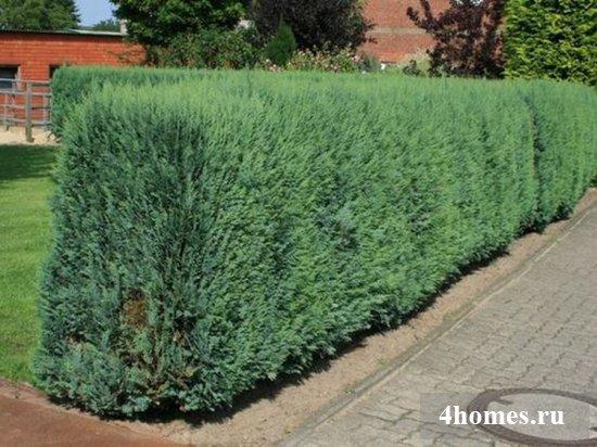 Быстрорастущие кусты – быстрое решение для живой изгороди