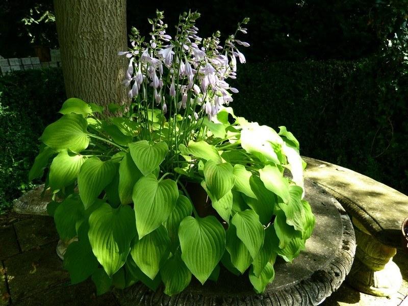 Садовая хоста цветет