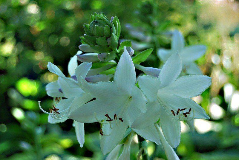 Хоста с белыми цветками