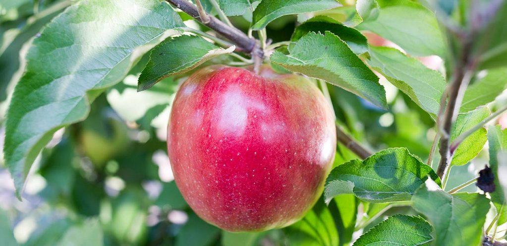 Яблоко на яблоне