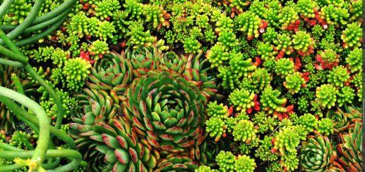 Суккуленты растения для сада и дачи