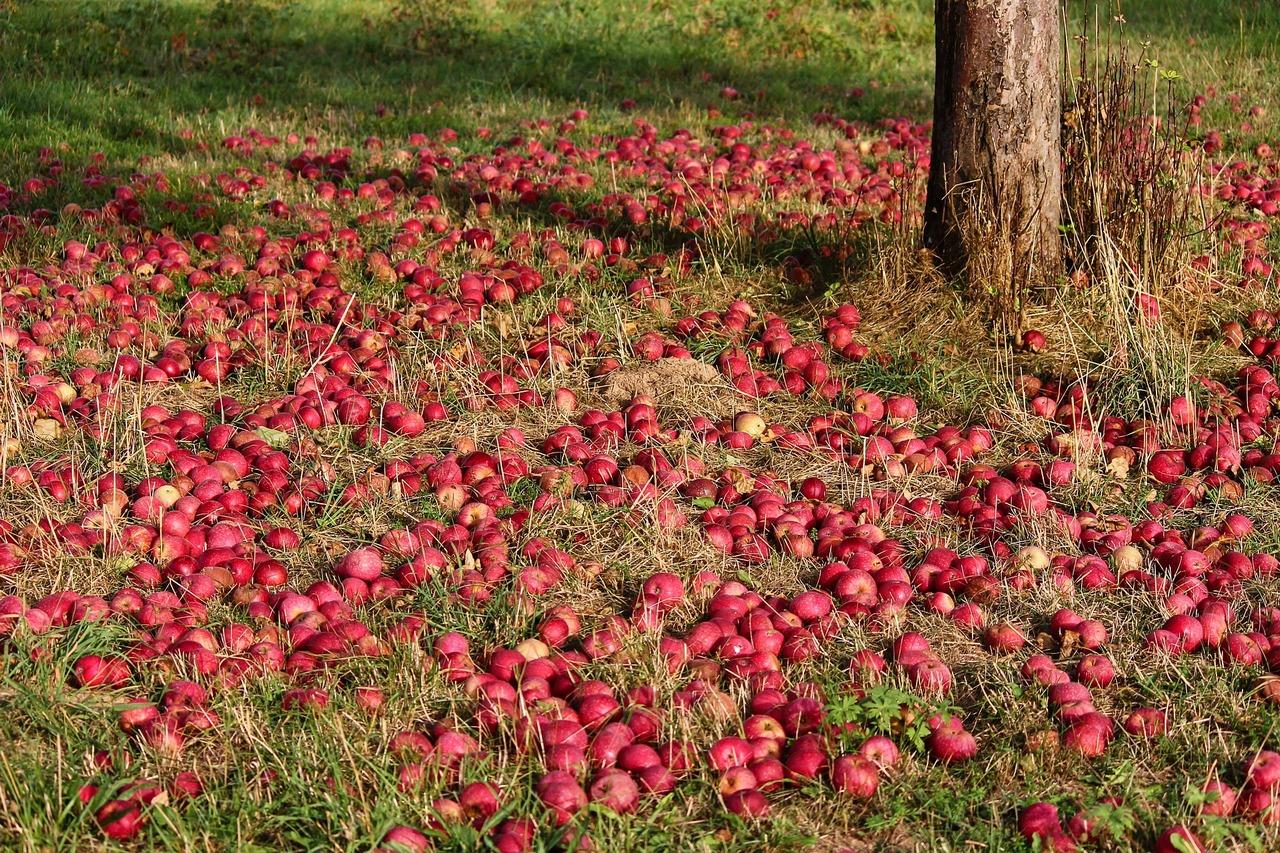 Яблоки под яблоней