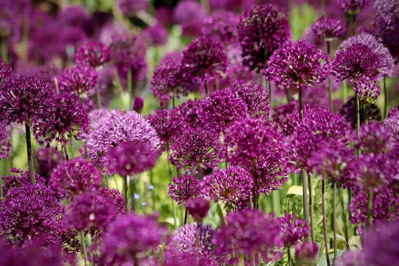 Цветет декоративный лук