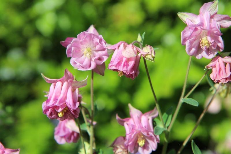 Прекрасный цветок аквилегия