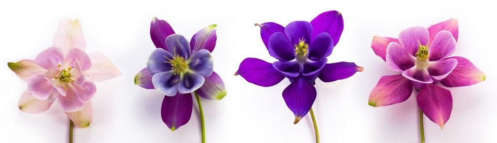 Цветы аквилегии