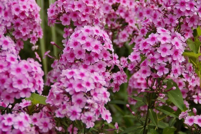 Флоксы метельчатые цветут