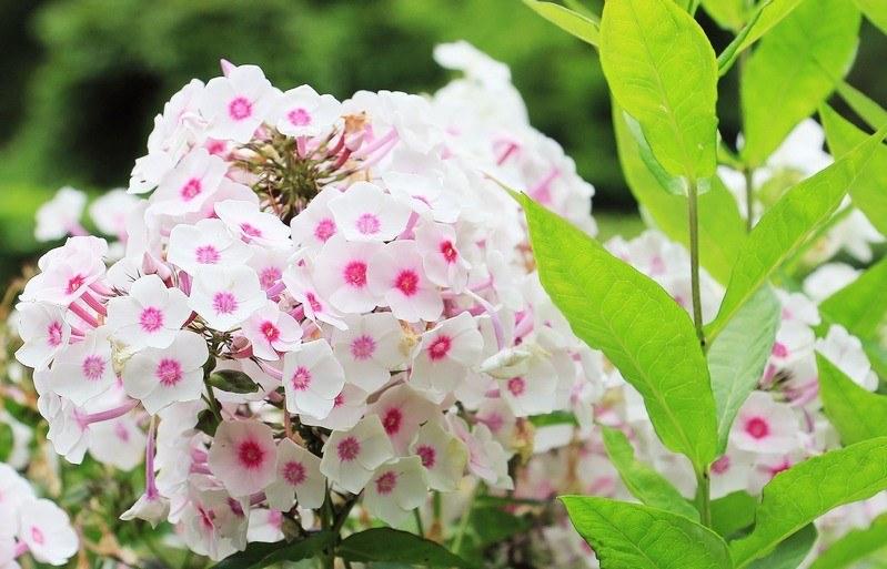 Бело-розовый флокс метельчатый зацвел